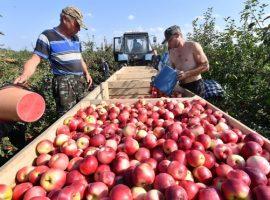 Россельхознадзор отменил запрет на ввоз яблок из Белоруссии