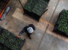 Торговые сети столкнулись с нехваткой авокадо