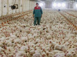Минсельхоз предложил потратить ₽5 млрд на выведение новой породы кур